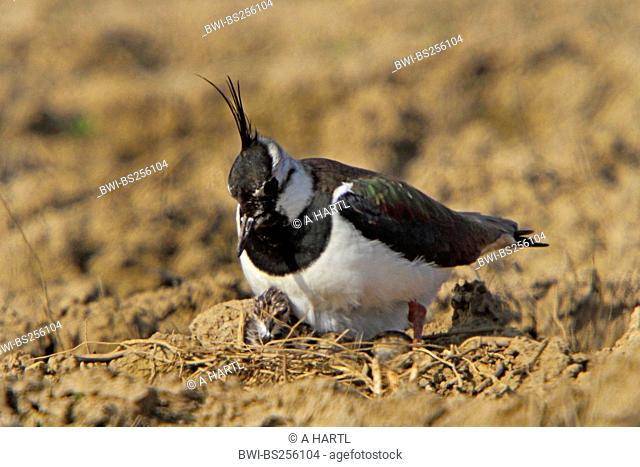northern lapwing Vanellus vanellus, on its eggs with a just hatched chick, Germany, Bavaria, Isental