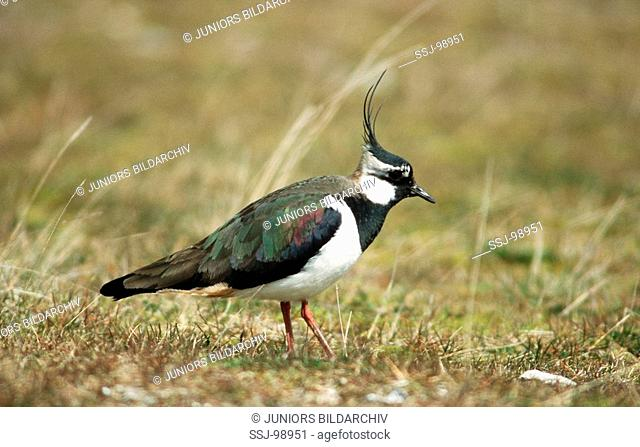 vanellus vanellus / lapwing