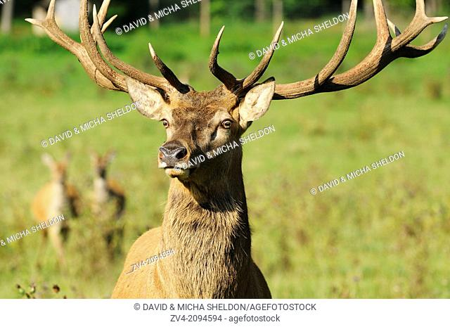Portrait of a red deer (Cervus elaphus) male on a meadow