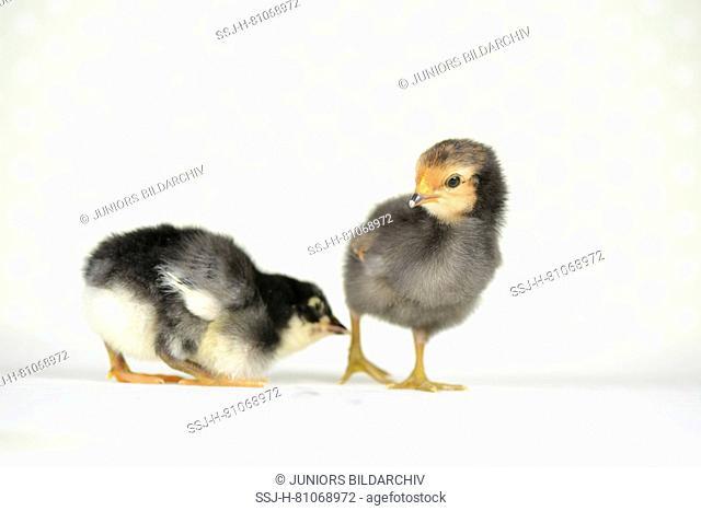 Domestic chicken, Vorwerk chicken (right) and Vorwerk chicken x Leghorn chicken. Chicks (2 days old) standing next to each other. Studio picture