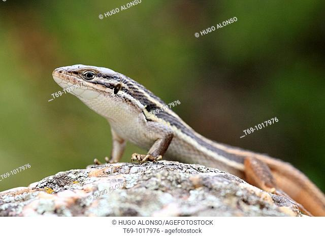 Red-tailed Spiny-footed Lizard (Acanthodactylus erythrurus)