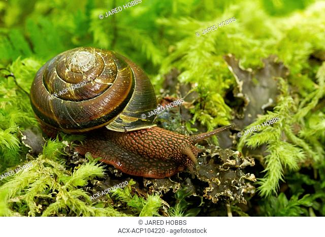 Pacific Sideband Snail, Monadenia fidelis, Clowholm Lake, Sunshine Coast, British Columbia, Canada