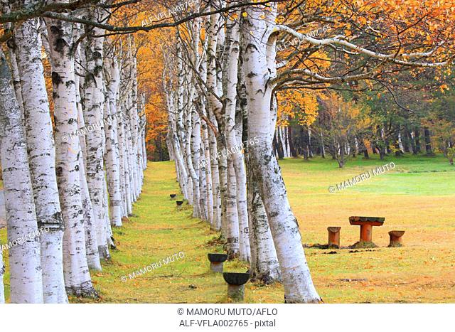 Birch trees and bench