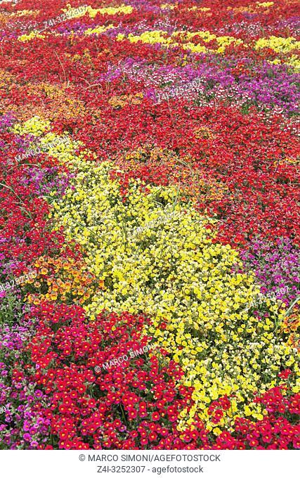 Flowers field in full bloom, Liguria, Italy, Europe
