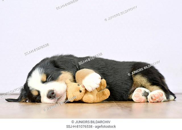 Bernese Mountain Dog. Sleeping puppy (5 weeks old) with its teddy bear. Studio picture. Germany