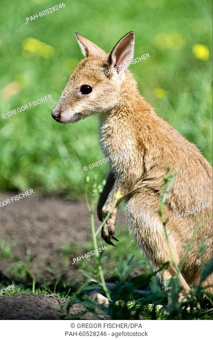 Six-month-old Monti the sandy wallaby at his first communal dining experience with other wallabies in the kangaroo enclosure at Tierpark Friedrichsfelde zoo in...