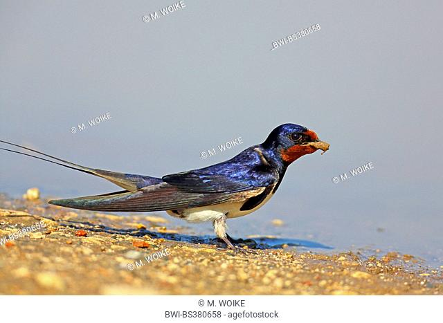 barn swallow (Hirundo rustica), male at a waterhole with nesting material in the bill, Bulgaria, Kaliakra