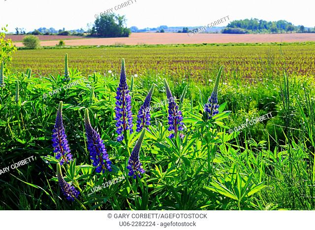 A field with lupins and crops near Canning in the Annapolis Valley of Nova Scotia, Canada