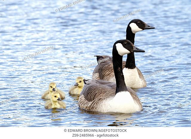 Jubilee River, Berkshire. 4th May 2015. UK weather. These Canada geese (Branta canadensis) and goslings made the most of the Bank Holiday weather with a swim on...