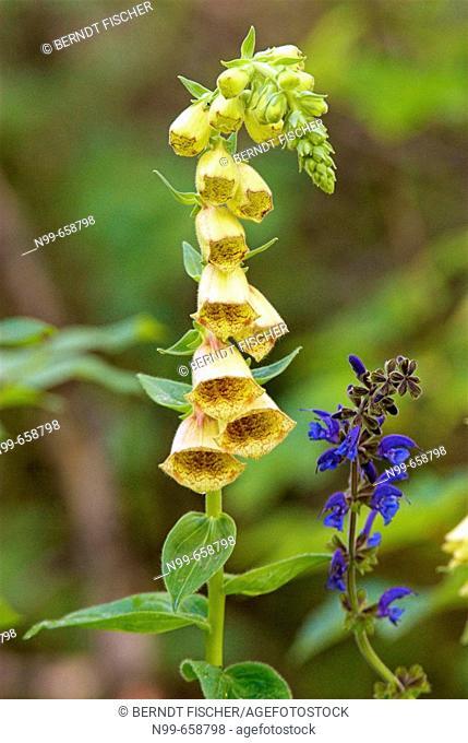 Foxglove (Digitalis grandiflora) and Sage (Salvia officinalis), National Park des Ecrins, French Alps, Haute Dauphiné, France