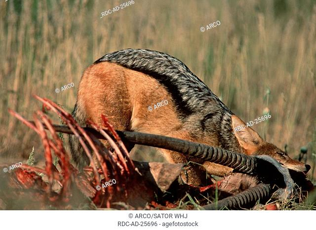Black-backed Jackal at carcass, Kalahari Gemsbok Park, South Africa, Canis mesomelas