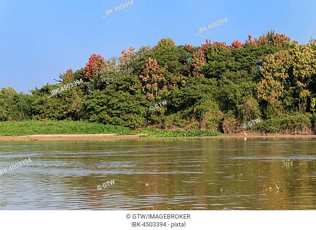 Cuiaba River with flowering Pink Ipe trees (Tabebuia ipe) at the shore, Pantanal, Mato Grosso State, Brazil