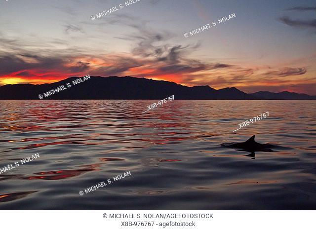 Long-beaked Common Dolphin pod Delphinus capensis encountered at sunset off Isla Danzante in the southern Gulf of California Sea of Cortez, Baja California Sur