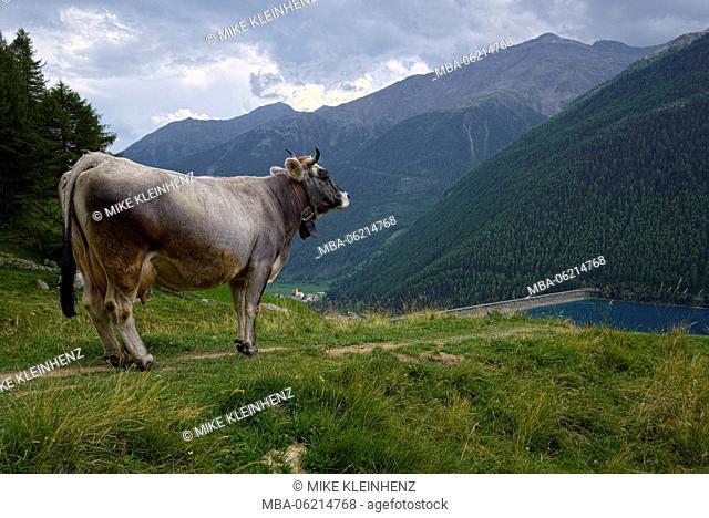Italy, South Tyrol, Vinschgau, Senales, Vernagt, Reservoir, cow