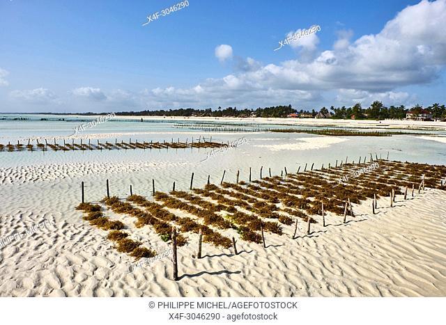 Tanzania, Zanzibar island, Unguja, Jambiani beach, seaweed harvesting at one of the underwater farms, Jambiani