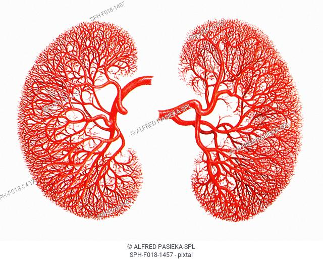 Computer artwork of the blood supply to human kidneys, showing the dense network of capillaries arising from divisions of a renal artery