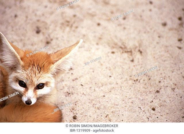 Fennec, desert fox (Vulpes zerda)
