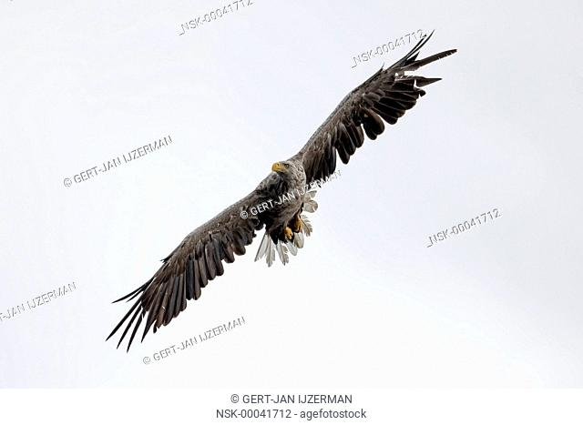 White-tailed Eagle (Haliaeetus albicilla) in flight, Poland, Stepnica, Oder