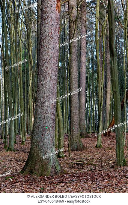 Old norwegian spruce in spring among juvenile hornbeam trees, Bialowieza Forest, Poland, Europe