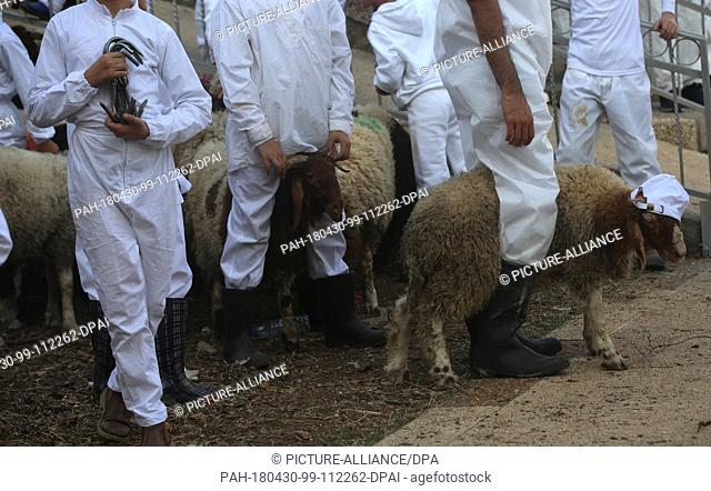 dpatop - Members of the Samaritan community prepare Passover Lambs to be sacrificed to mark the Passover Sacrifice (Korban Pesakh) ritual, at Mount Gerizim