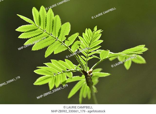 Rowan / Mountain Ash (Sorbus aucuparia) close-up of leafburst of new foilage, Little Druim wood, Glen Finglas, Woodland Trust Reserve