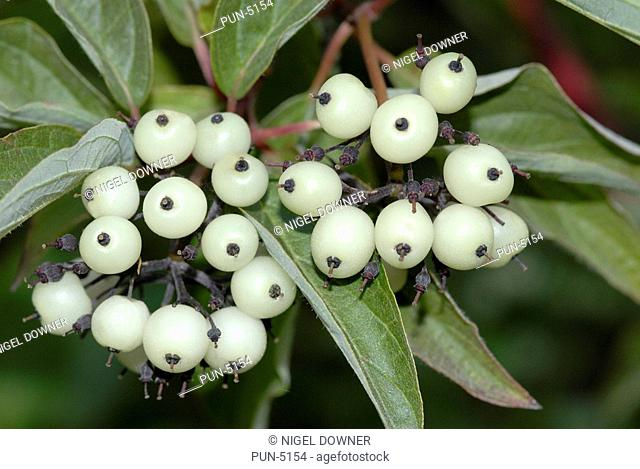 Red Osier Dogwood berries Cornus stolonifera Growing on roadside verge