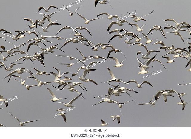 mew gull (Larus canus), flock mew gull and black-headed gull, Germany, Schleswig-Holstein