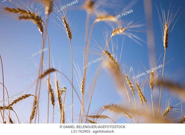 cereal field in Puertomingalvo, Sierra de Gúdar, Teruel Aragón, Spain, Europe