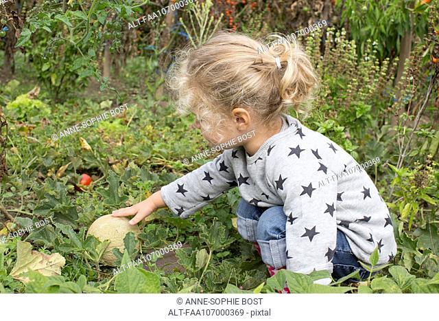 Girl picking cantaloupe