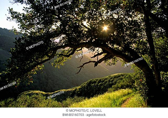The sun sparkles through an OAK TREE (genus Quercus) in GARZAS CANYON, part of GARLAND PARK in CARMEL VALLEY, USA, California