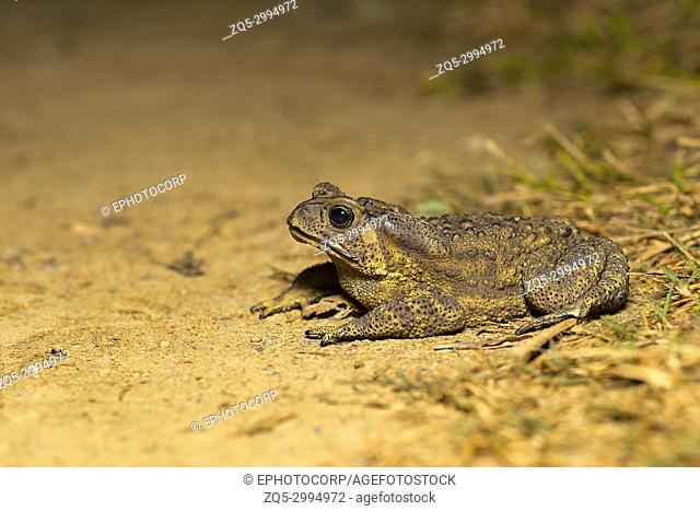 Duttaphrynus sp. , Genus of true toads. Sukhai, Nagaland, India