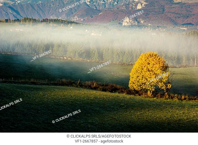 Altopiano of Asiago, Province of Vicenza, Veneto, Italy. Solitary beech tree with autumnal mist