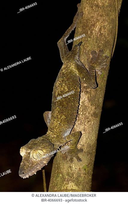 Common Flat-tail Gecko (Uroplatus fimbriatus) with regrowing tail, Nosy Mangabe, northeastern Madagascar, Madagascar