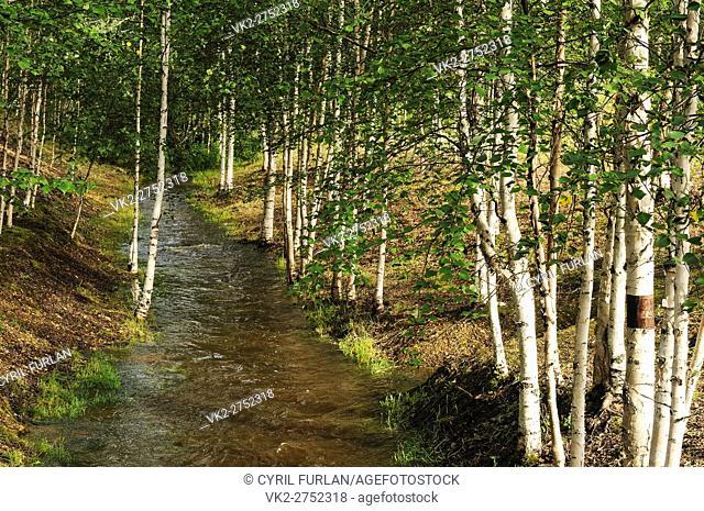 Grove of White Birch Trees Location is Fairbanks Alaska