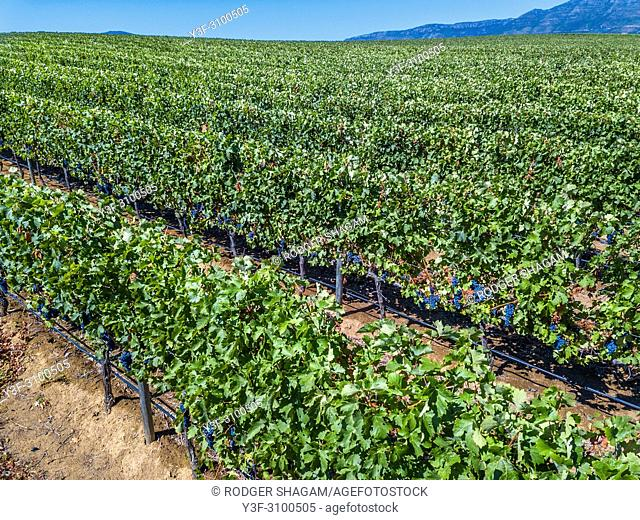 Rows of grape vines in a vineyard almost readfy for harvest. Cape Town, South Africa