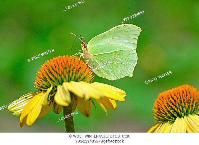 Small white Butterfly on top of an Arnica Blossom