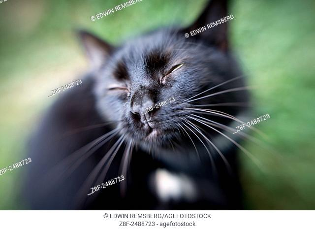 Black cat with squinting eyes in Fallston, Maryland, USA