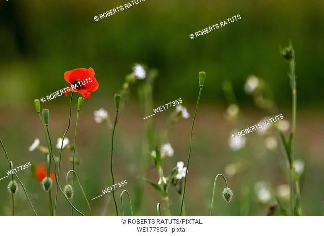 Red blooming poppy flowers on a green grass. Garden with poppy flowers. Nature field flowers in meadow. Blooming red poppy flowers on summer wild meadow