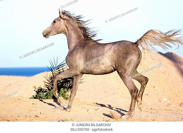 Arabian Horse. Young strawberry roan mare trotting in the desert. Egypt