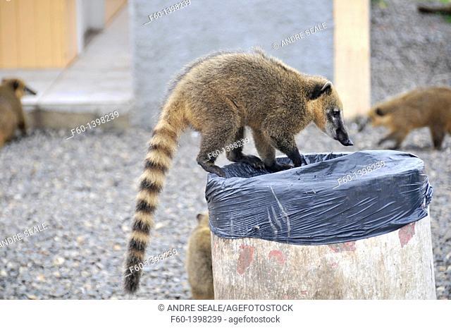 Wild coatis, Nasua nasua, are attracted by human trash and development along the roads, Santa Catarina, Brazil