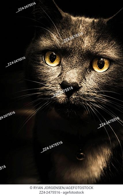 Face of a curious cat watching from the shadows of darkness. Pets and animal portraits