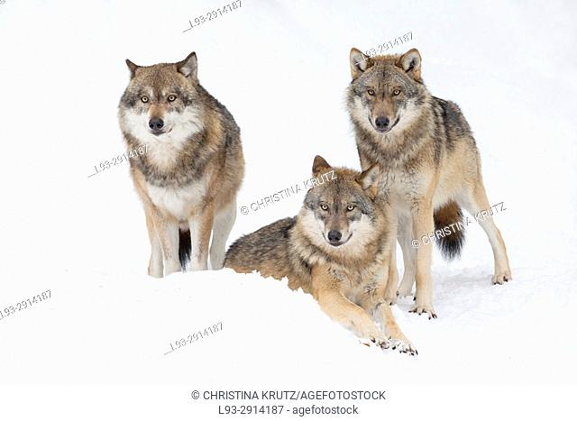 Wolves (Canis lupus) in winter, Bavarian Forest National Park, Germany
