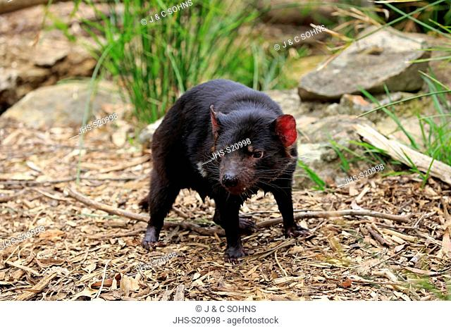Tasmanian Devil, (Sarcophilus harrisii), adult, Mount Lofty, South Autralia, Australia
