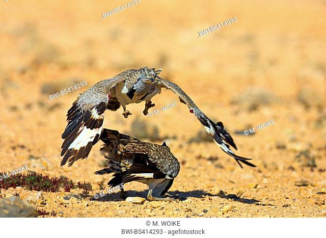 houbara bustard (Chlamydotis undulata fuerteventurae), two males at territorial fight, Canary Islands, Fuerteventura