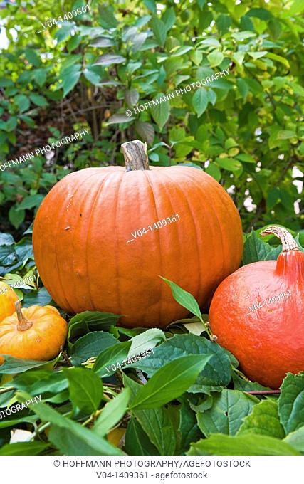 Colorful pumpkins and squash in the garden, Germany, Europe