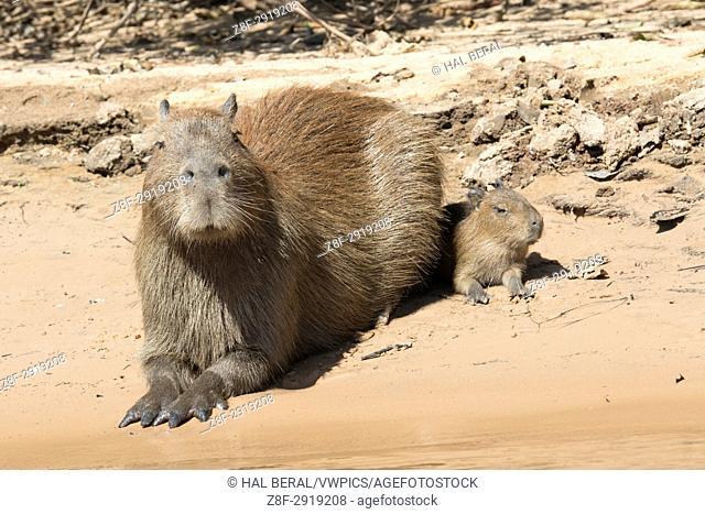 Capybara with baby (Hydrochoerus hydrochaeris) Pantanal, Brazil