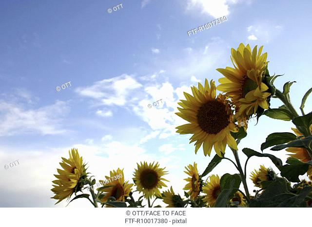 SunFlowers, flower grown in field, low angle view