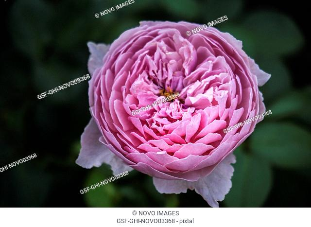 Close-up of Pink Peony Flower, Paeonia officinalis