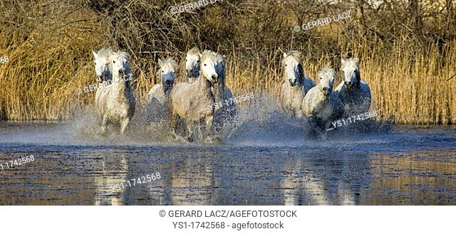 Camargue Horses, Herd galloping in Swamp, Saintes Marie de la Mer in Camargue, South of France