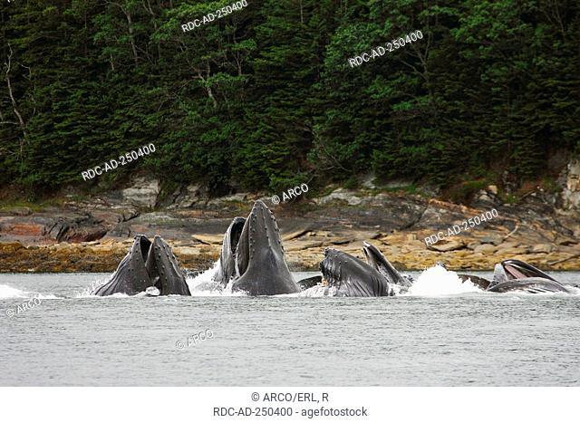 Humpback Whales bubble net feeding Alaska USA Megaptera novaeangliae
